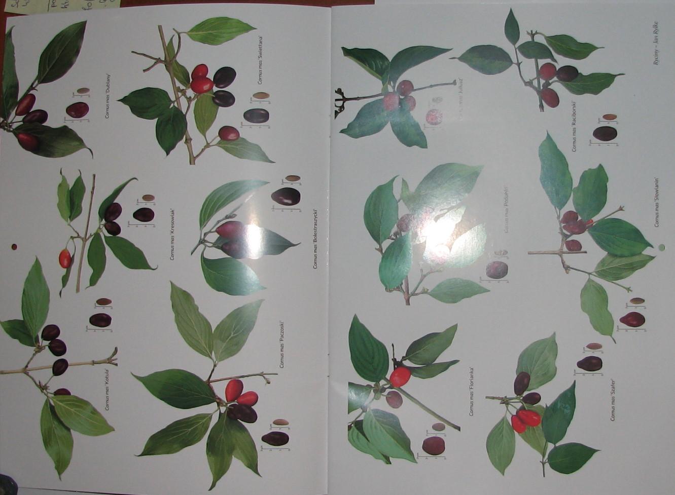 Cornus mas  cv. – Húsos som  gyümölcsfajta válogatás 6×1 db