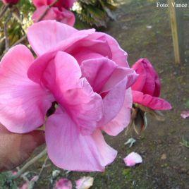 Magnolia x  'Felix Jury' –  Felix Jury óriás virágú liliomfa ÚJDONSÁG!