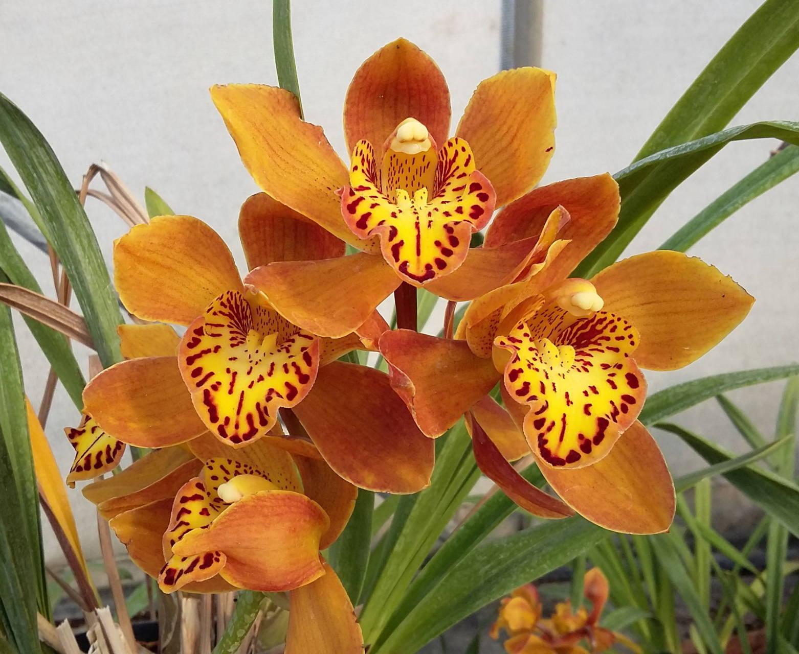 Cymbidium x  'Házi Kedvenc' –  cimbidium orchidea
