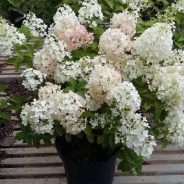 Hydrangea paniculata  'Bubo' –  törpe bugás hortenzia ÚJDONSÁG!