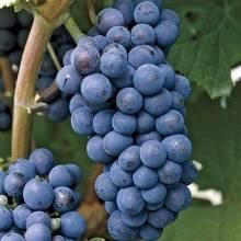 Vitis  labruska x 'Concord' – Concord szőlő