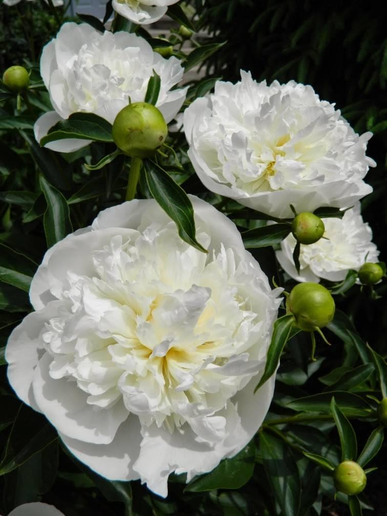 Paeonia lactiflora 'Duchesse de Nemours' – Duchesse de Nemours pünkösdirózsa