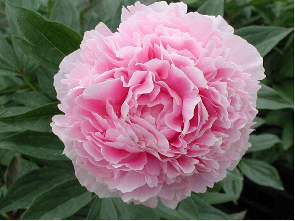 Paeonia  lactiflora 'Sarah Bernhardt' – Sarah Bernhardt pünkösdirózsa