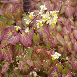 Epimedium versicolor 'Sulphureum' –  kénsárga tündérvirág  Újdonság!