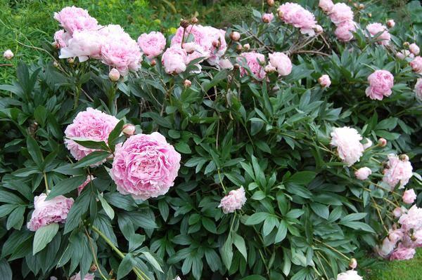 Paeonia  lactiflora  Eco mix   – Pünkösdi rózsa  gazdaságos szín keverék