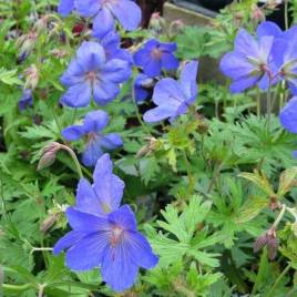 Geranium  x 'Johnsons  Blue'- 'Johnsons Blue ' hibrid gólyaorr