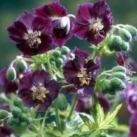 Geranium phaeum –  fodros gólyaorr