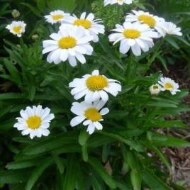 Leucanthemum x 'Little Miss Muffet' –  alacsony hibrid  margaréta  ÚJDONSÁG!
