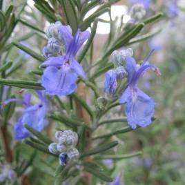 Rosmarinus officinalis – kerti rozmaring