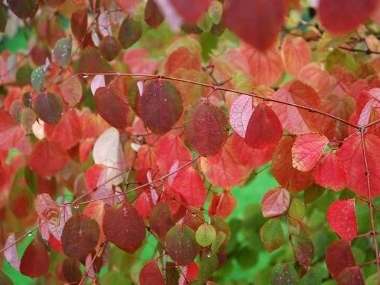 cercidophyllum ősz