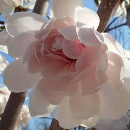 Magnolia  stellata 'Wildcat' – Wildcat telt virágú liliomfa MT 3é.