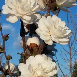 Magnolia  stellata 'Mag's Piruette' – tömvetelt virágú liliomfa