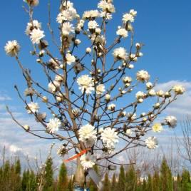 Magnolia  stellata 'Mag's Piruette' – tömvetelt virágú , törzses! liliomfa