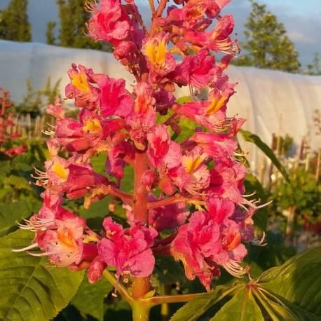 Aesculus x carnea Briotii variegata