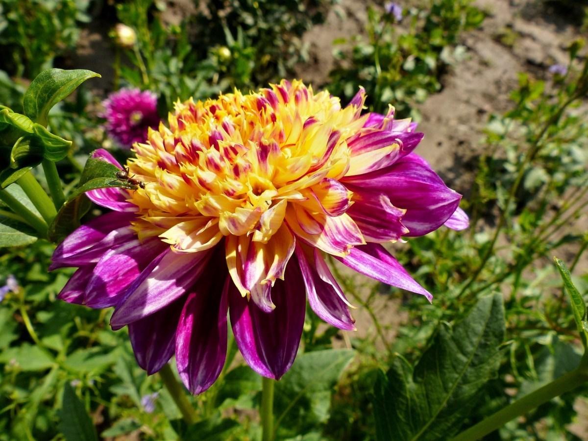 anemone virágú dália
