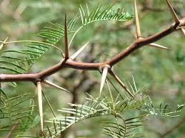 Mesquite branch thorns Opt