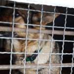 Schäferhund im Zwinger