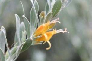 eremophila