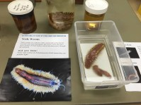 Giant scaleworms! Photo credit: Anne Lawyer.