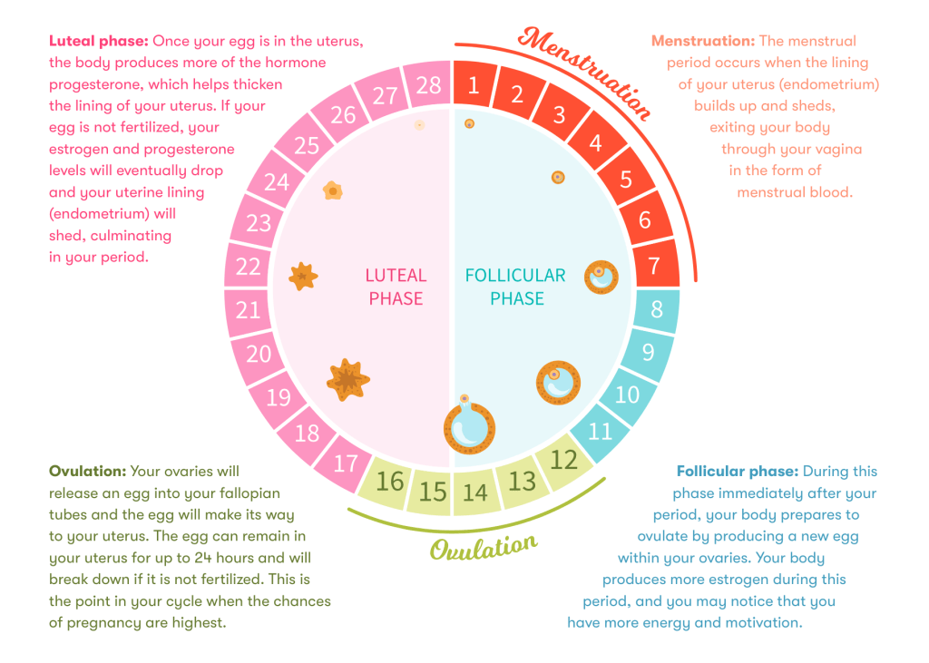 four phases of menstrual cycle diagram