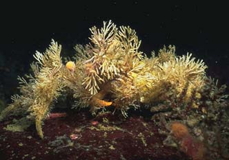 Image result for decorator crab