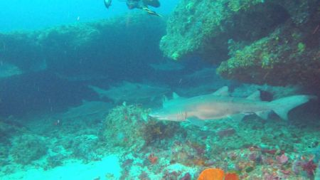 African Dive Adventures-grey nurse shark