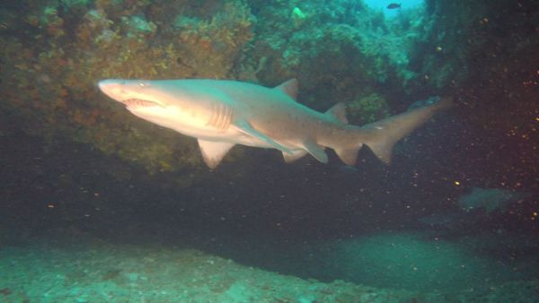 African Dive Adventures-ragged-tooth-shark-cave