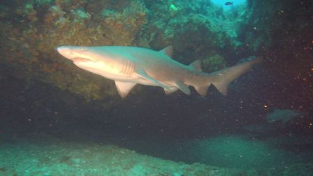 African Dive Adventures-grey nurse sharks-raggie in cave