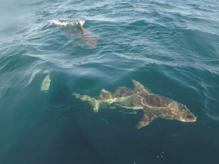 Oceanic black tip sharks at surface
