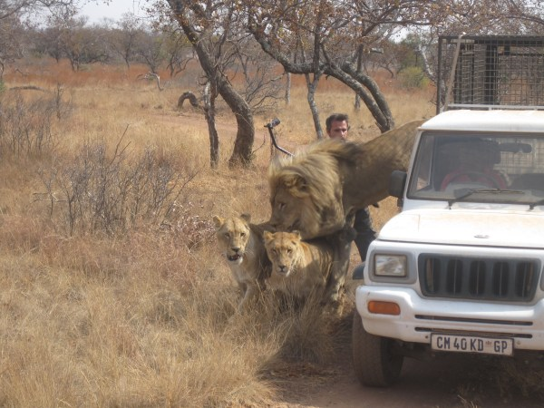 Kevin Richardson lions jumping from car
