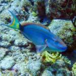 Dive Diva Bonaire - Fish ID photo blue parrot fish