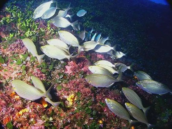 Favourite Dives on Gozo: Bream, sarpa salpa fish