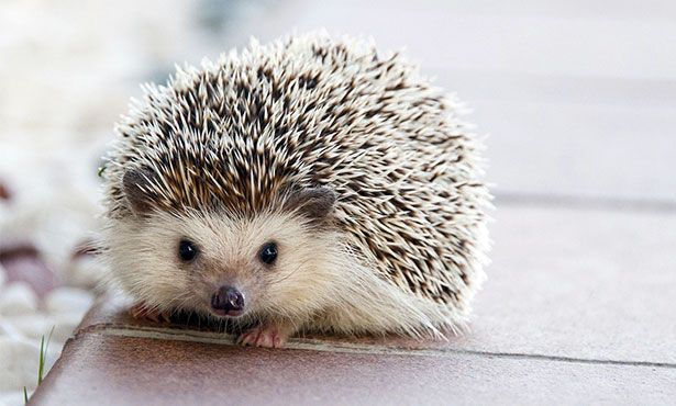 hedgehog quills and costume