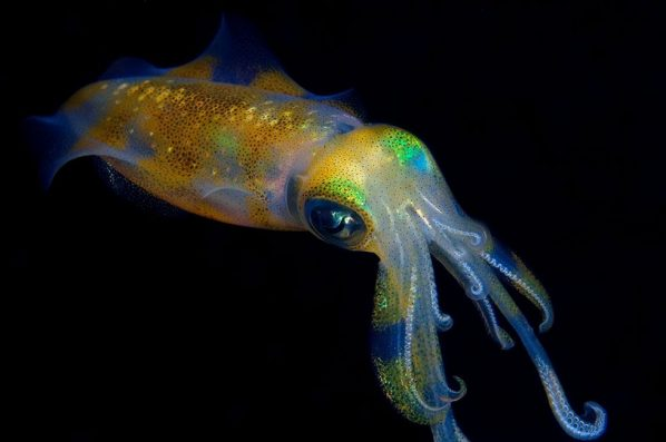 Diver Dena's Adventure Shop~Reef Squid