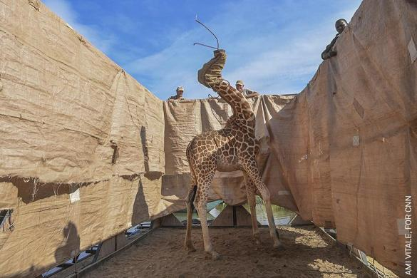 Nature, Singles, 1st Prize. Rescue of Giraffes from Flooding Island. Ami Vitale.
