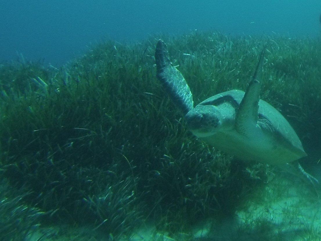 Turtle Swimming Green Bay