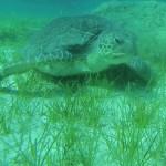Turtle Green Bay