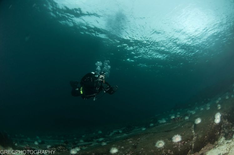 Dykker, kråkeboller, overflate, berggrunn