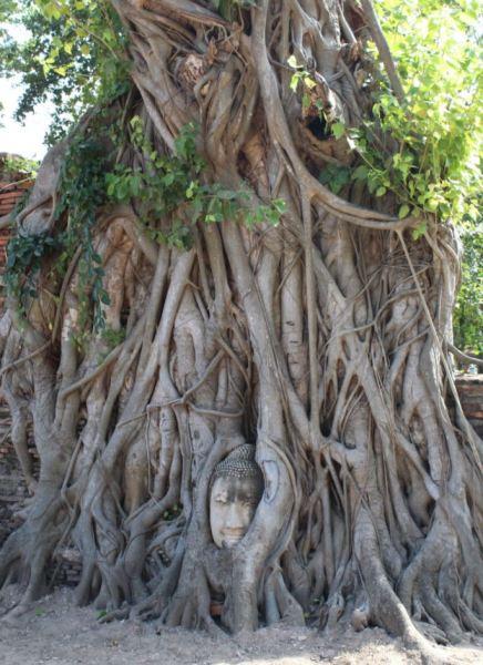 Cabeza del Buda en un árbol del Wat Phra Mahathat