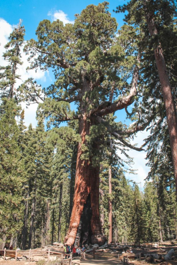 Sequoia en Mariposa Grove 2
