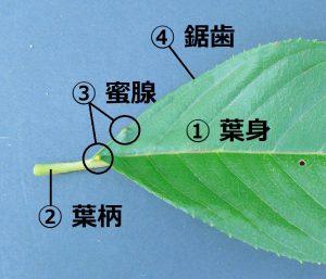 桜の葉 各部の名称