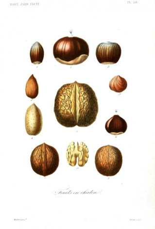 Botanical - Fruits 12 - Nuts