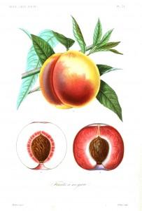 Botanical - Fruits 5 - Peach