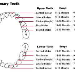 Canine Eye Diagram 2004 Saturn Ion 3 Wiring Age Dental Visit - Divine