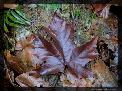 Alouette Valley Trail, Golden Ears (Canadian Maple Leaf)