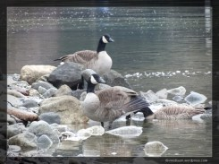 Alouette Lake, British Columbia (Canadian Geese)