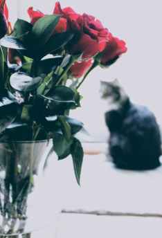 Red roses & silhouette of a cat