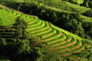 the rice we eat matters to gluten sensitivity