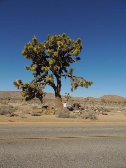 The tallest Joshua Tree we saw