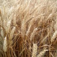 Gluten en tarwe; een gevaar voor de gezondheid?
